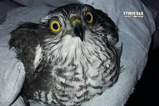 Τραυματισμένο γεράκι στο Άργος από κυνηγετικό όπλο