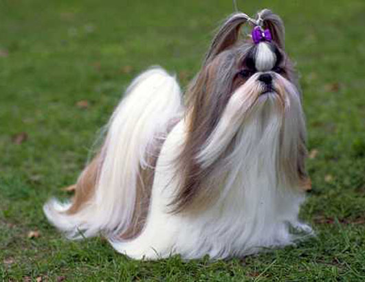 Pretty-Shih-Tzu-Pictures.jpg