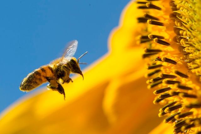 Con polen y polinizando girasol - With pollen and pollinating sunflower.