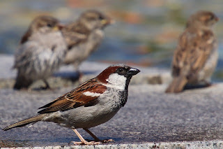 Sparrow in Hindi