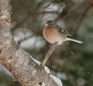 Common Chaffinch in Newfoundland