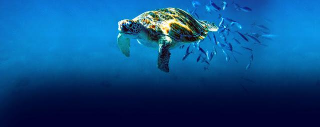 Tortue de mer dans la profondeur des océans des caraïbes , aux petites Antilles à la Barbade.