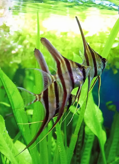 Dunia Ikan Hias - Manfish alias Angel Fish
