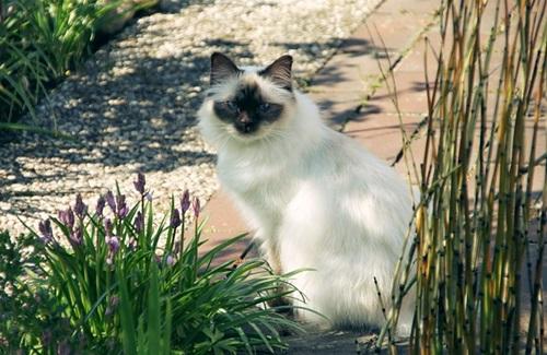 كل المعلومات عن قط بيرمان BIRMAN CAT