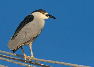Photo of a Black-crowned Night-Heron in a boat's rigging