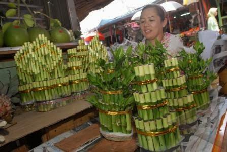 Jual pohon bambu rejeki | suplier tanaman | tanaman hias | jasa desain taman