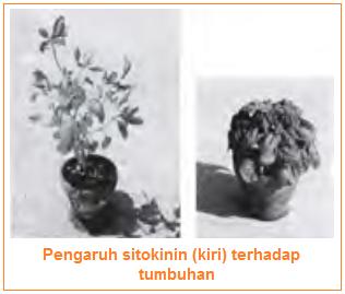 Perbedaan fungsi hormon sitokinin pada tumbuhan