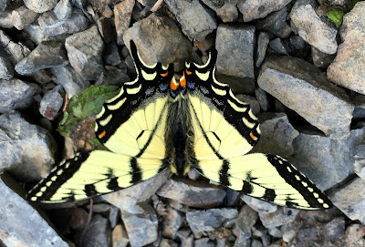 Beautiful swallowtail butterfly, York River, Gaspé