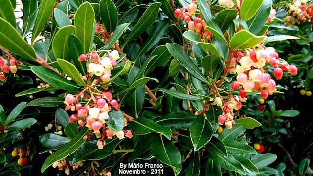 Flowers MEDRONHEIRO - ( Arbutus unedo )