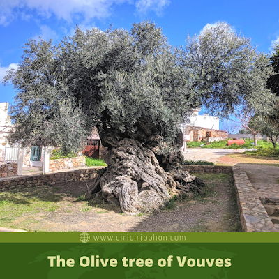 The Olive tree of Vouves