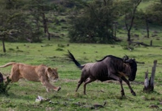 Why Lions Hunt Wildebeest African Folklore story; Lions hunt Wildebeests to this day because of a wrong done to Lion by the Wildebeest.