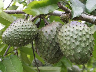 Mountain Soursop Fruit pictures