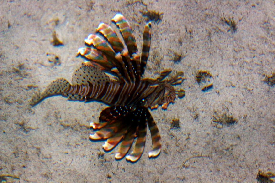 Lion Fish juga banyak terdapat di bawah jetty