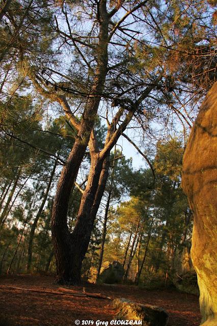 Le pin, Potala, Trois Pignons, (C) 2014 Greg Clouzeau