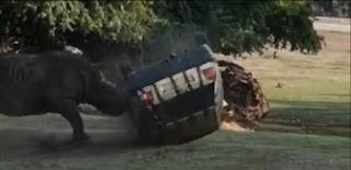 Video: Badak yang marah Menabrak dan membalikkan mobil zookeeper