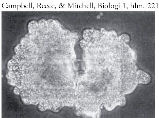 Pembelahan-sel-biner-amoeba