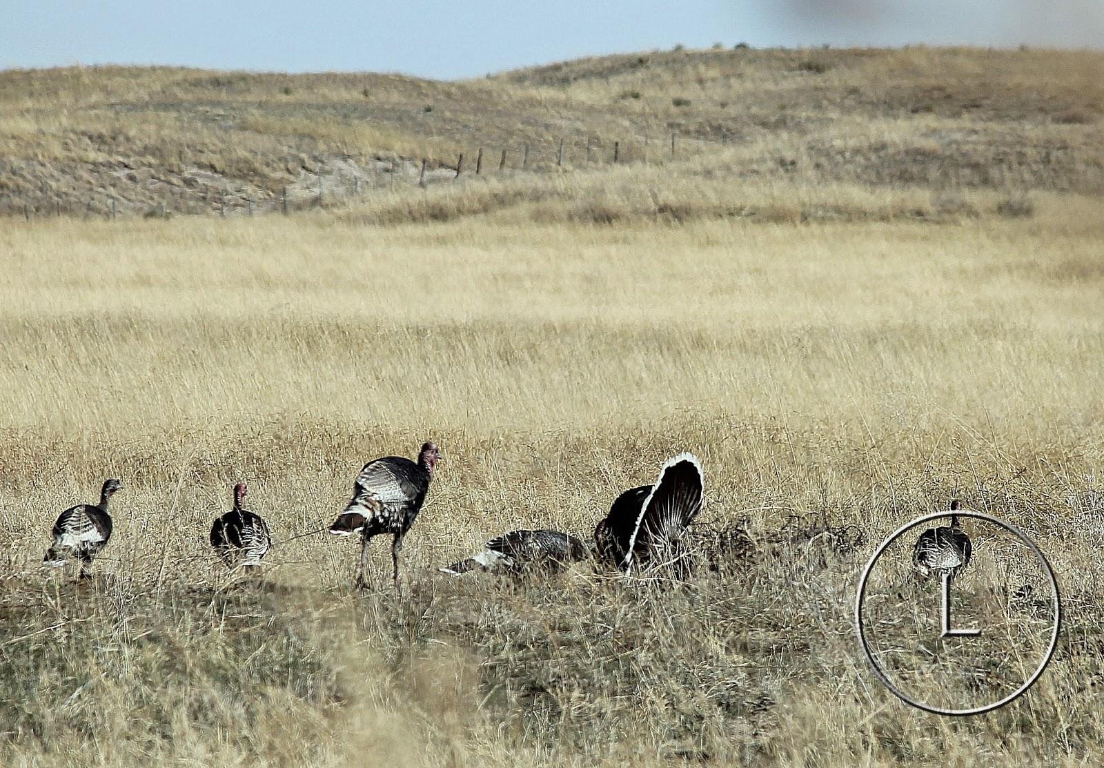 Earth Day 2016, Circle L Ranch, Wildlife, Wild Turkeys