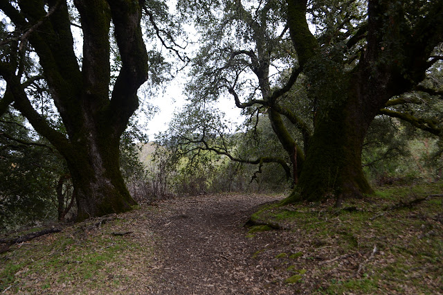 pair of big oaks to either side of the trail