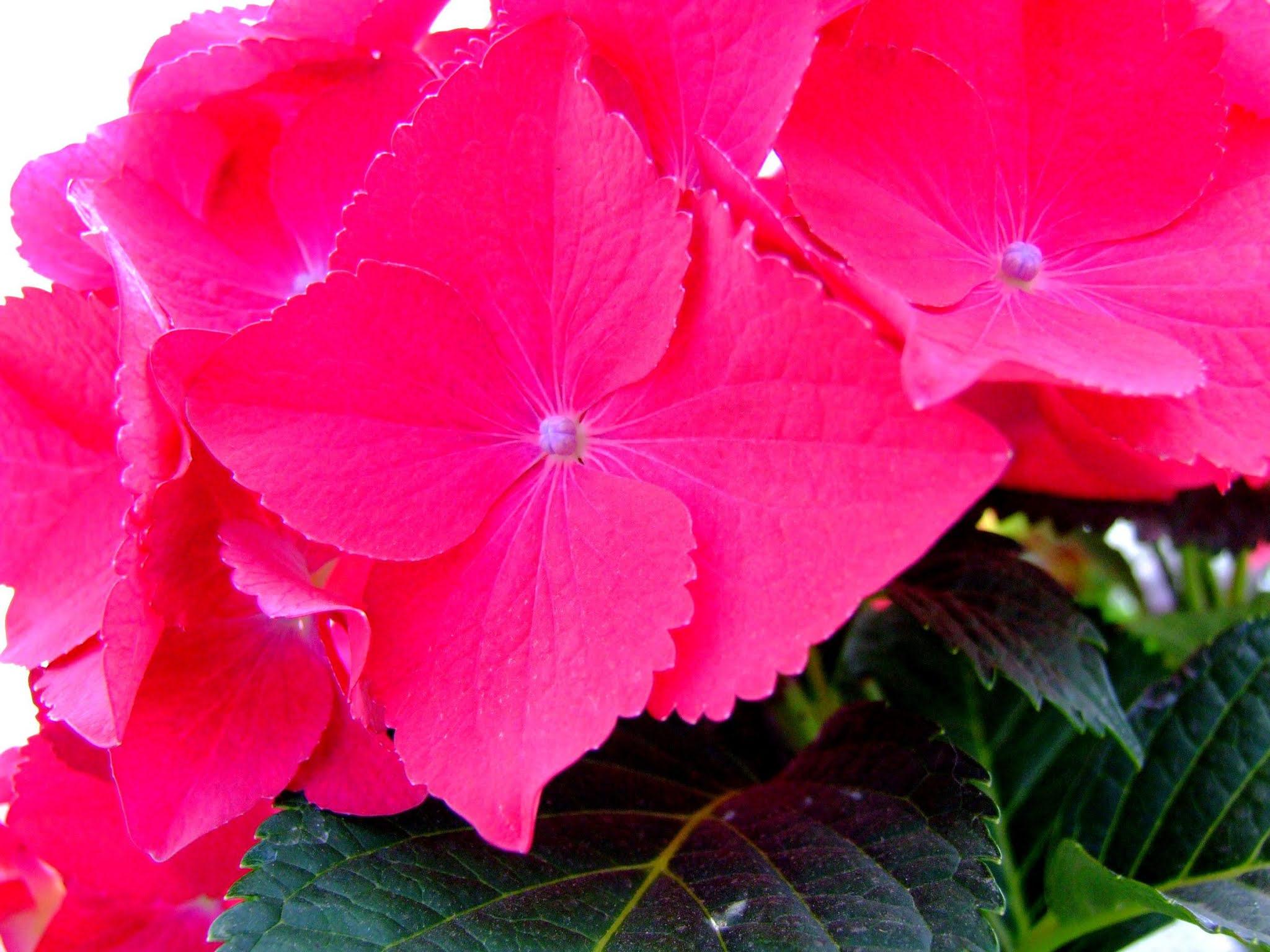 マゼンダ系の濃いピンクが鮮やかなアジサイのドアップの写真素材です。とても派手な印象です。梅雨の時期のブログ記事などにどうぞ。