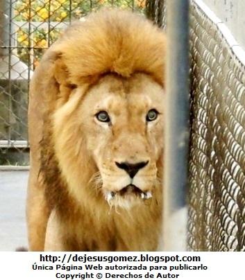 Foto de León en jaula dentro del Parque de las Leyendas. Foto tomada por Jesus Gómez