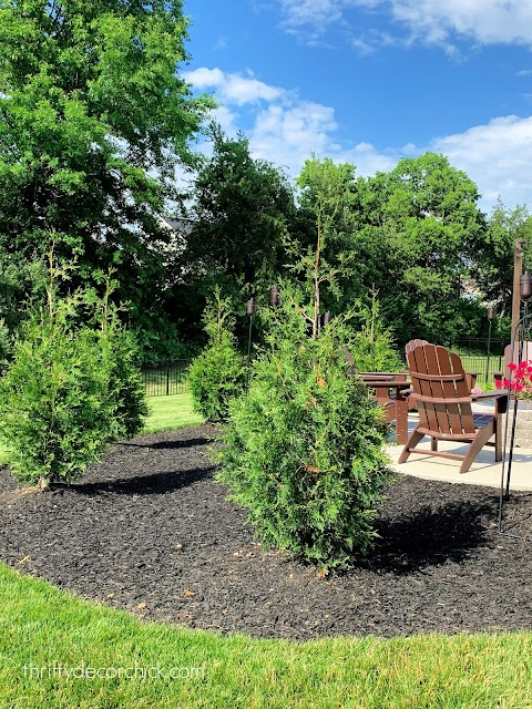 Thuja arborvitae trees for privacy
