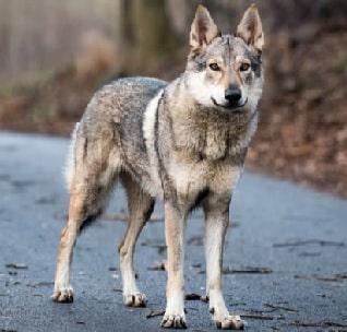 hibrido de perro lobo checoslovaco