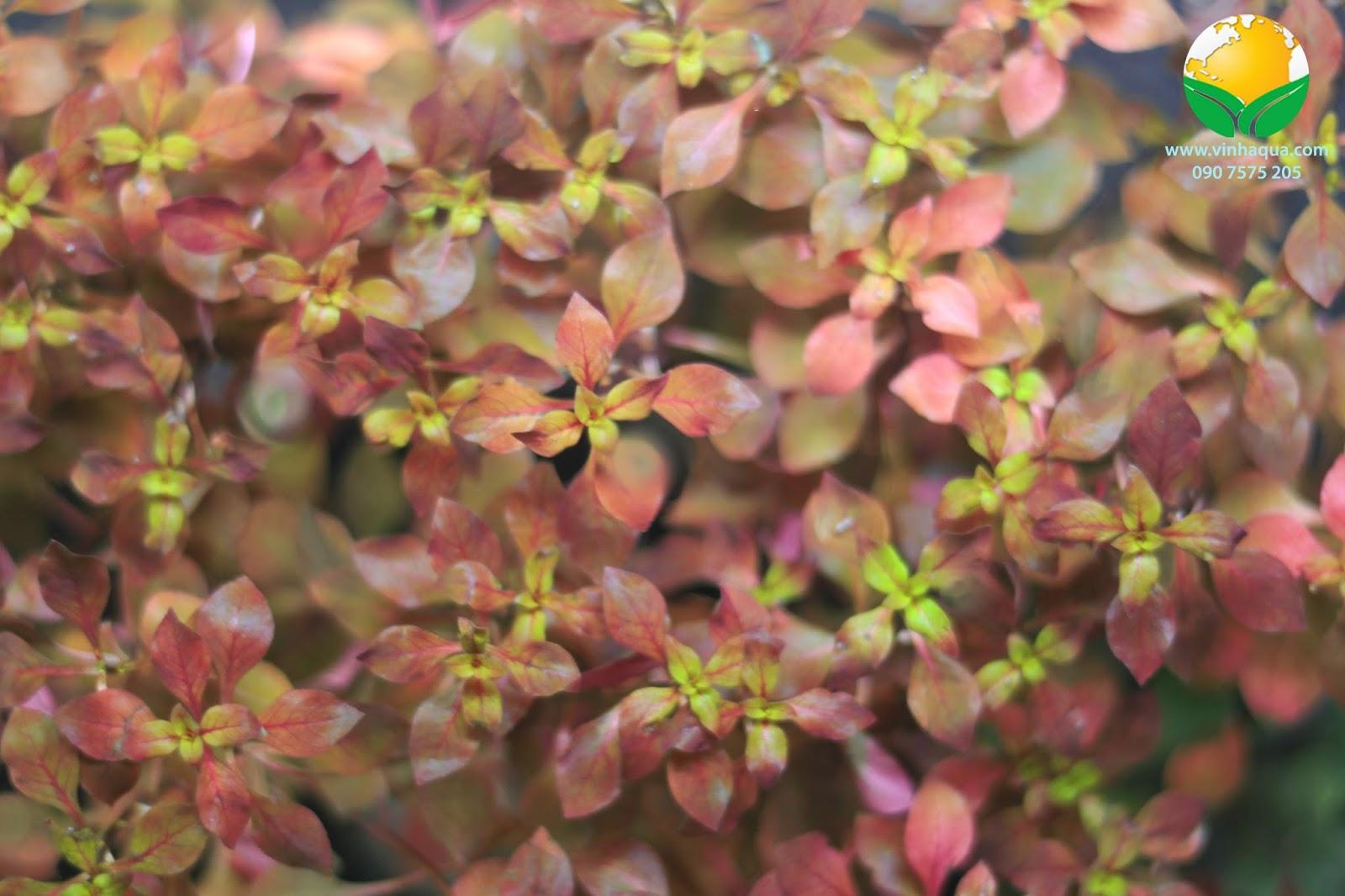 Cận cảnh vẻ đẹp của cây thủy sinh tân đế tài hồng