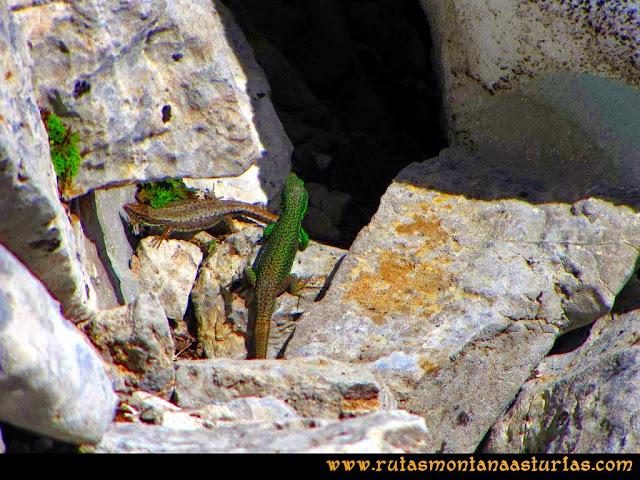 Ruta Farrapona, Albos, Calabazosa: Lagartijas en el Albo Occidental