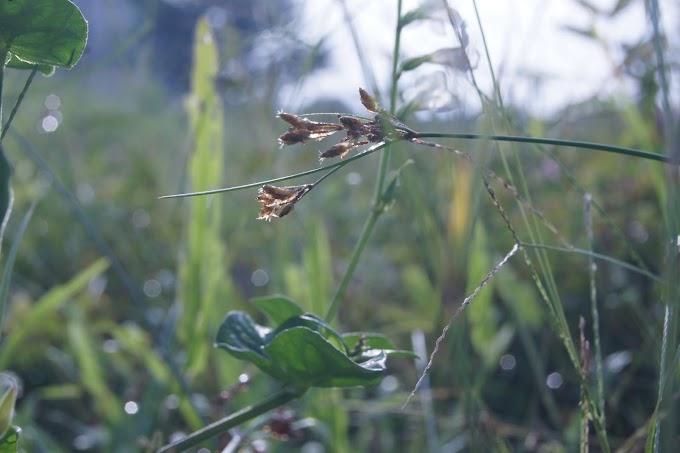 Embun pagi dan rerumputan