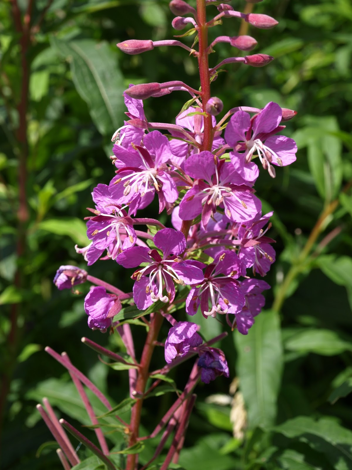 Raw Edible Plants Rosebay Willowherb Chamaenerion Angustifolium