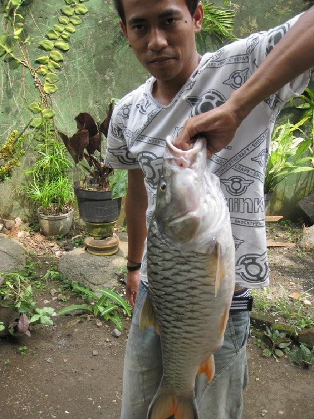 umpan ikan tawes sungai
