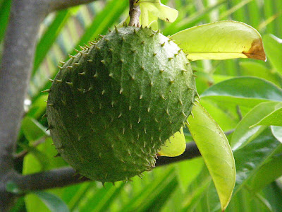 Herbal, Herbal Plant, natural remedy, soursop leaves, soursop leaves benefits, soursop leaves to treat cancer,