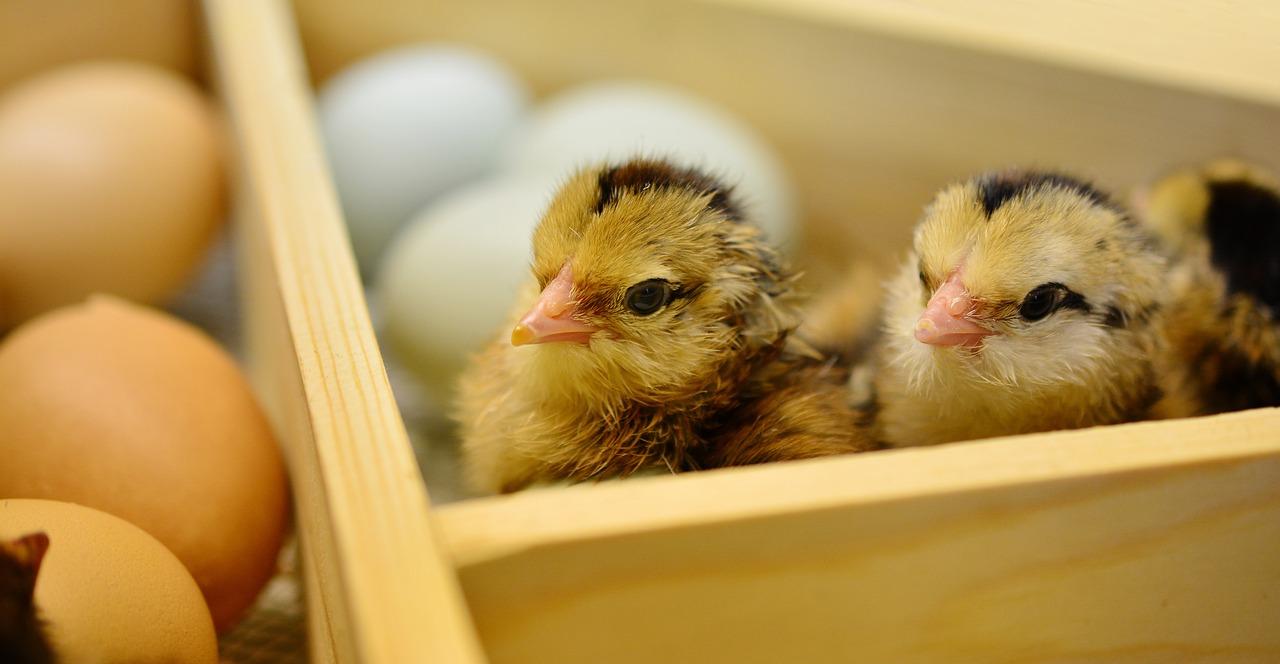 Peluang Usaha Ternak Ayam Petelur yang Menguntungkan ...