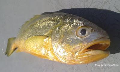 Yellow Croaker, Larimichthys polyactis