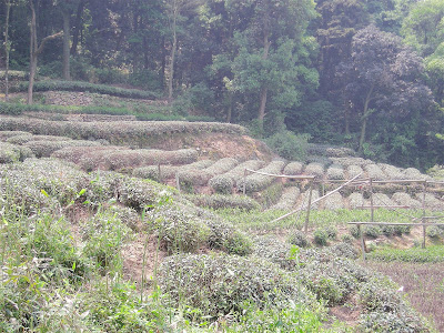 tea plants on a Chinese hillside