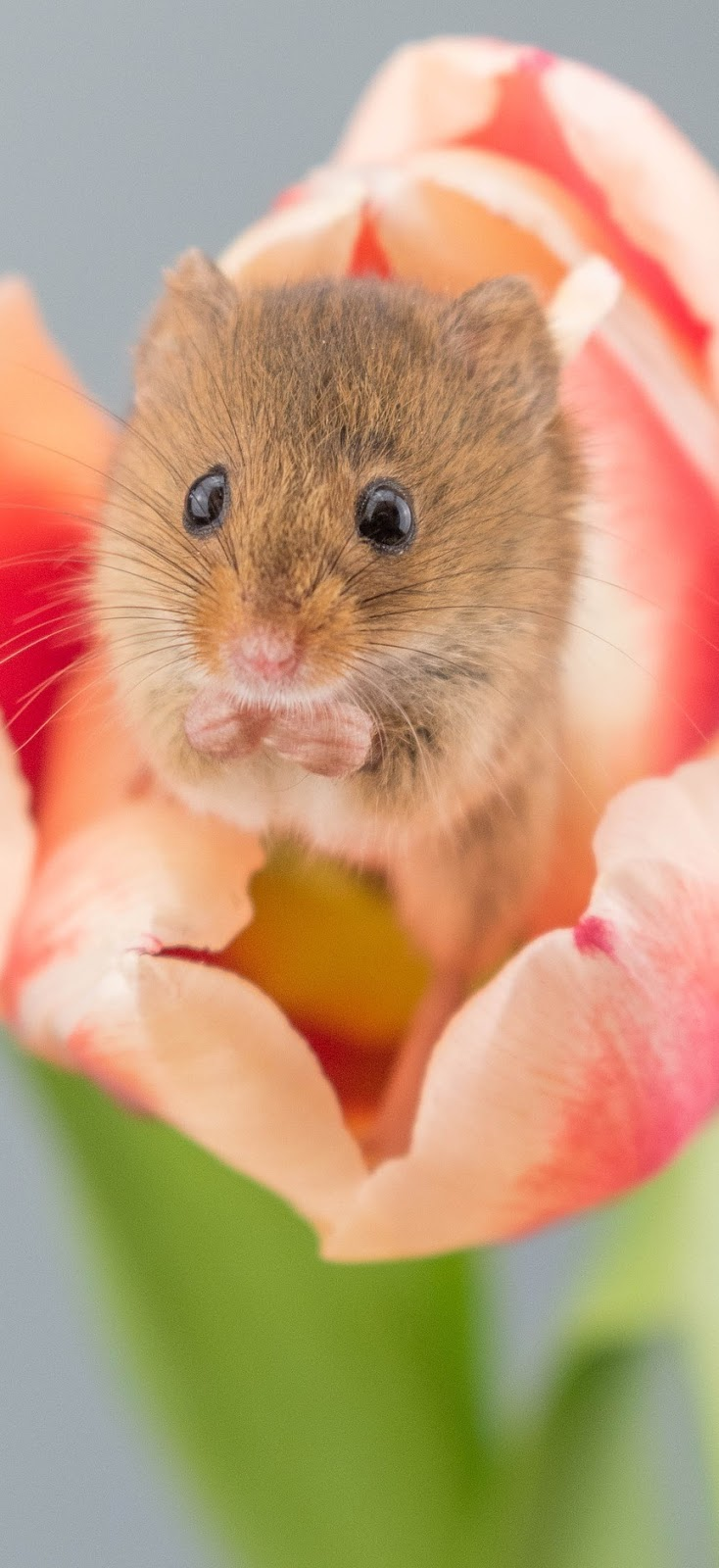 Cute little harvest mouse in a tulip flower.