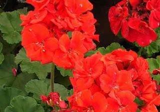 Pelargonium hortorum   GERANIACEAE