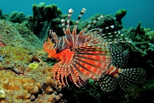 Zebra Lionfish - Loài cá quý hiếm đang cư ngụ tại S.E.A Aquarium