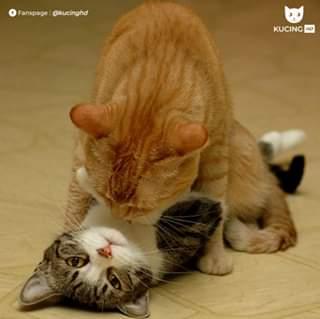kucing oren tukang kawin