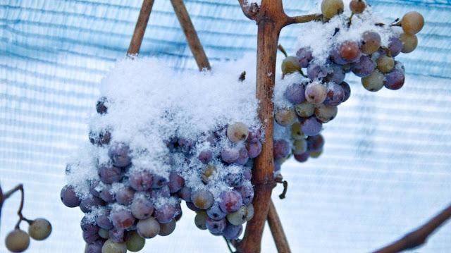 Ένα αποκαρδιωτικό πλήγμα δέχτηκε πριν από λίγες ημέρες μία από τις μεγαλύτερες βιομηχανίες εξαγωγών της Γαλλίας, αυτή του κρασιού, καθώς ένα ψυχρό κύμα, ασυνήθιστο για την εποχή, κατέστρεψε αμπελώνες σε όλη τη χώρα.