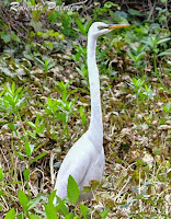 Great egret on alert, Amelia Island Greenway, FL - by Roberta Palmer, Apr. 2018