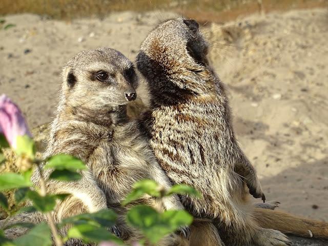 Meerkats at Chessington World of Adventures