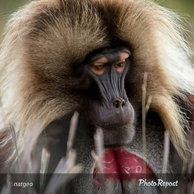 Gelada Monkey in the Ethiopian highlands