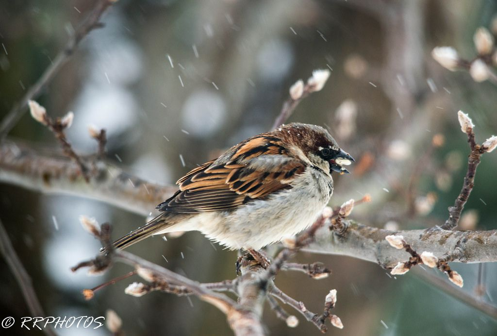 House Sparrow by Ramesh Rangaswamy