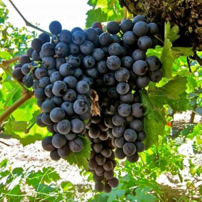 bibit anggur isabel murah cepat berbuah Yogyakarta