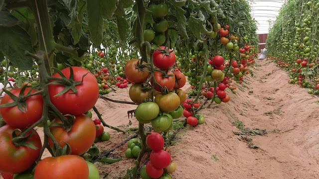 كيفية زراعة الطماطم في البيوت المحمية