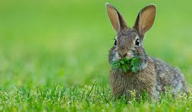 cottontail rabbit Interesting facts