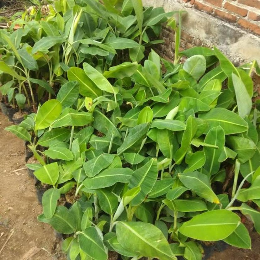 Bibit pisang raja nangka Sorong