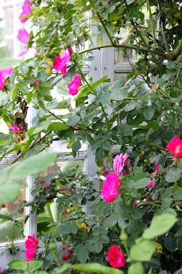 Meg Merrilies rose for organic rose hip syrup