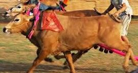 18 jenis sapi yang sangat cocok untuk dibudidayakan atau dipelihara
